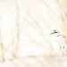 Seeregenpfeier- Kentish Plover