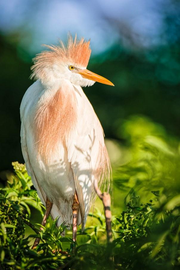 Cattle Egret in breeding colors