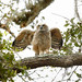 Great-horned Owlet Ready to Fly (almost)