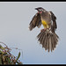 Red Wattlebird: Set for Landing