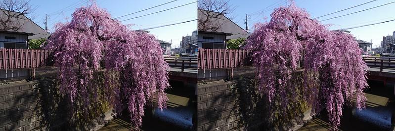 石橋屋の枝垂桜 立体写真
