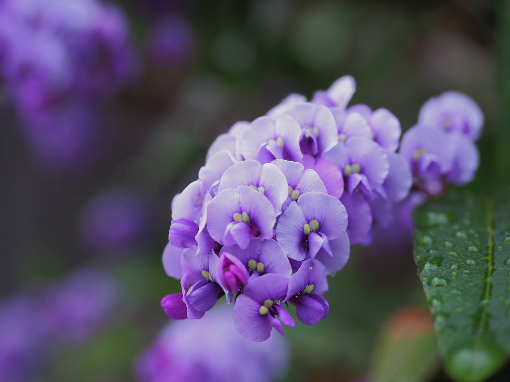 Hardenbergia violacea (vine lilac, ハーデンベルギア)