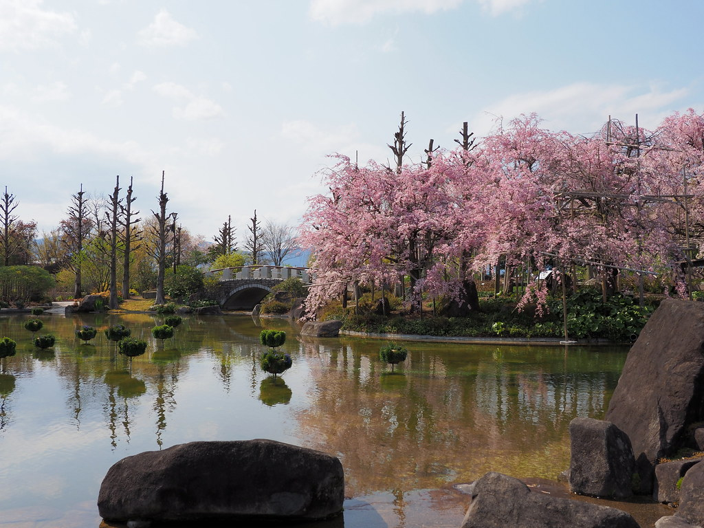 Upper pond and cherry blossoms at the Kusatsu City Aquatic Botanical Gardens