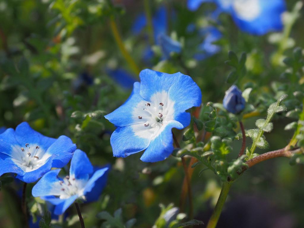 Nemophila menziesii 'Insignis Blue' flowers (baby blue eyes, ネモフィラ 'イニシングブルー')