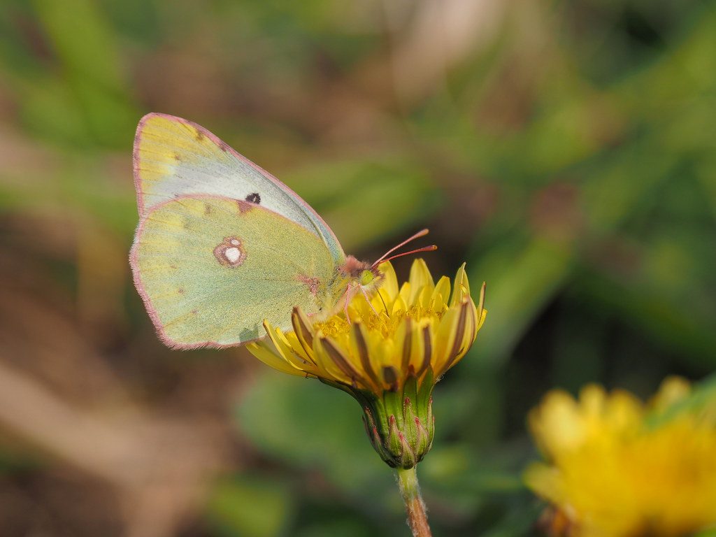 Eastern pale clouded yellow butterfly (Colias erate poliographys, モンキチョウ)