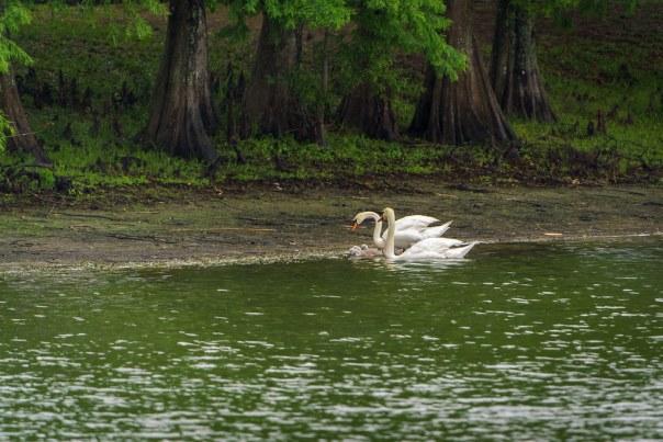 Lake Davis Mute Swan Family
