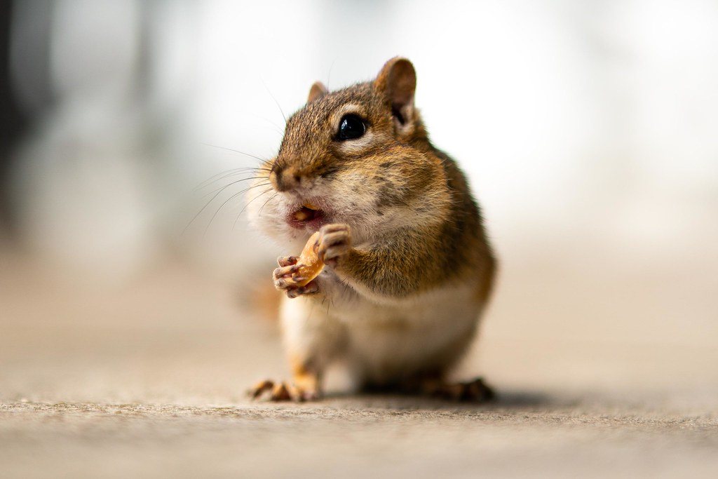 Chipmunks can never get enough peanuts