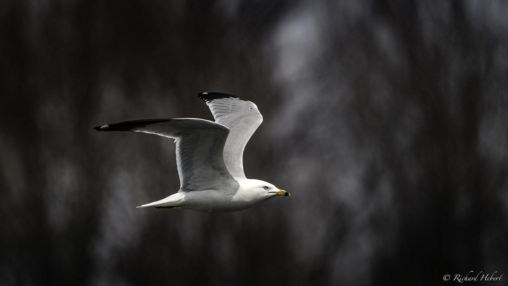 Goéland à bec cerclé / Ring-billed Gull