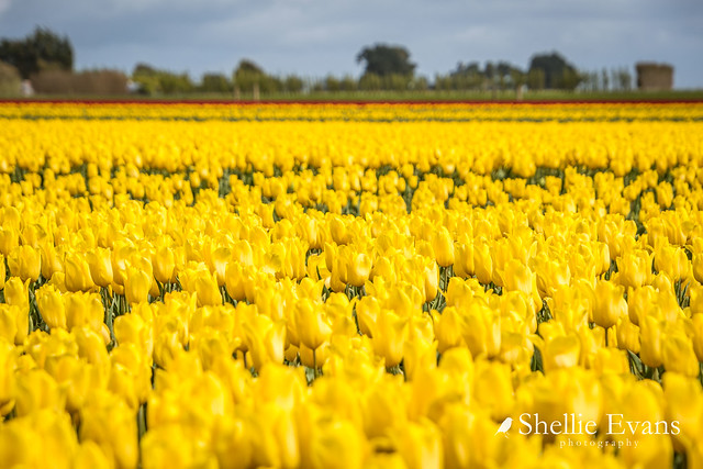 Tulip Blooms- Edendale, Southland