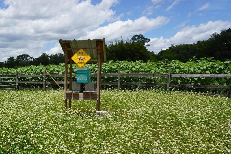 U-Pick Sunflowers, Sweetfields Farm, Brooksville, Fla., May 9,2020