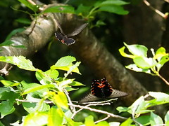 Spangle butterflies (Papilio protenor, クロアゲハ)