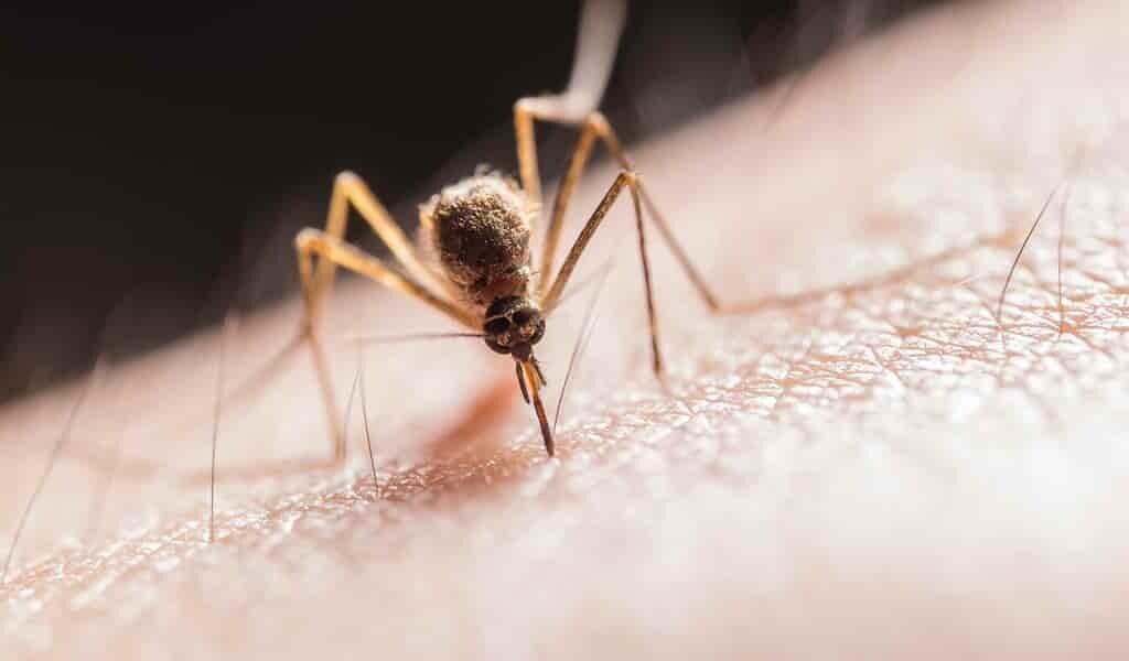 des-moustiques-mâle-modifiés-pour-éliminer-les-femelles