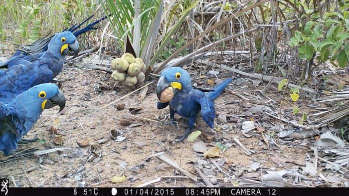 紫藍金剛鸚鵡攝食畫面