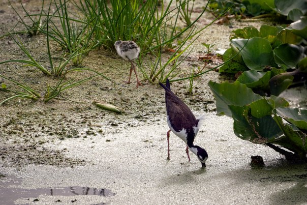 Black-necked Stilts: Mom and chick