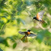 Gartenrotschwanz - Common Redstart