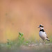 Flusregenpfeifer - Little-ringed Plover