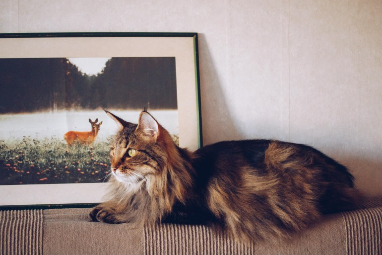 Asla norwegian forestcat - reaktionista.se
