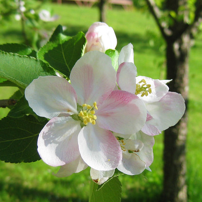 Apple Blossom Perfect