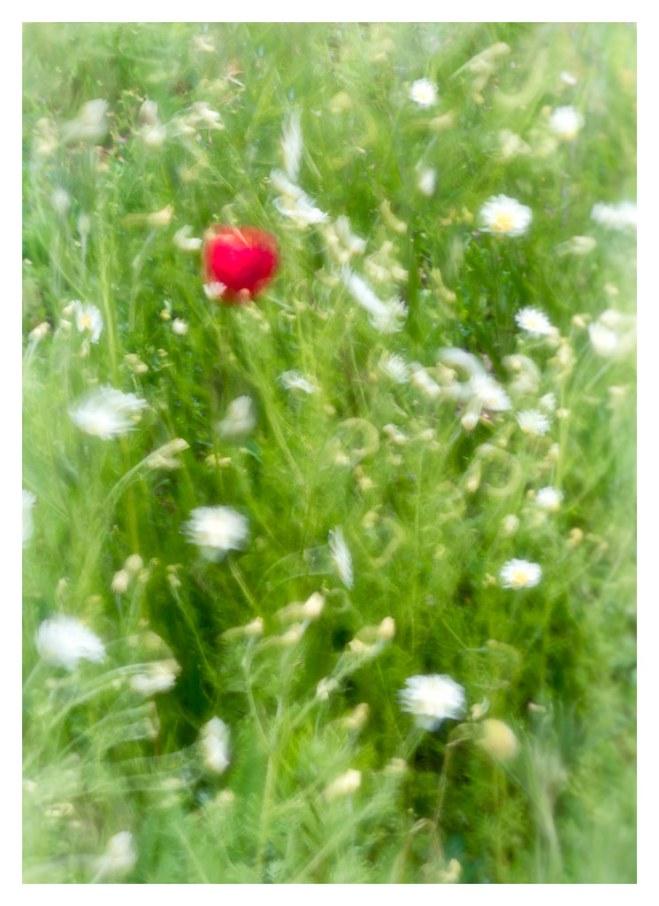 Wk21 - Poppy in the Wind.jpg