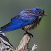 A Wet Male Western Bluebird Perches On A Knob Of An Old Dead Branch