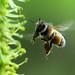 Pollen LZ