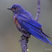 Male Western Bluebird With Wet Feathers Perched On A Pine Branch