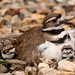 Two of four Killdeer chicks that hatched this past weekend.