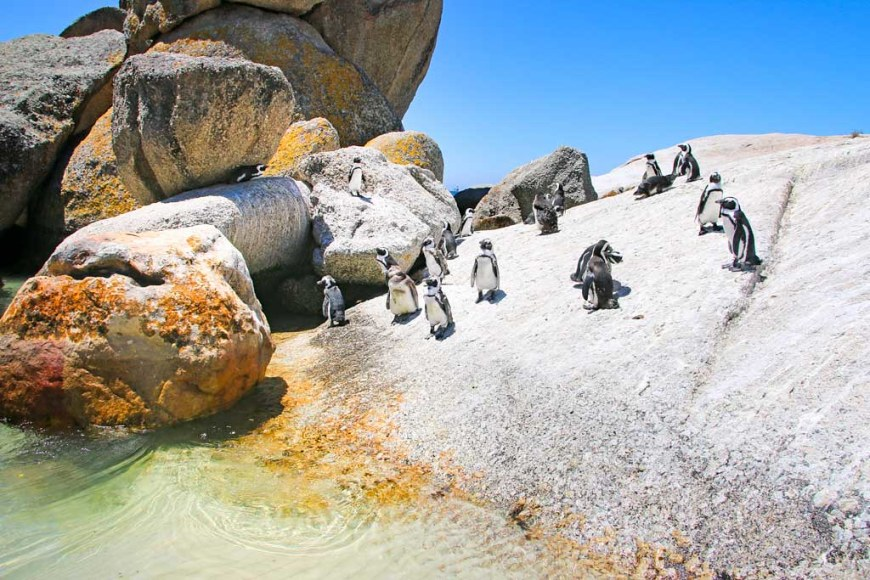 3. African-penguins-Boulders-Beach-Cape-Town