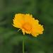 Coreopsis flower (コレオプシス)