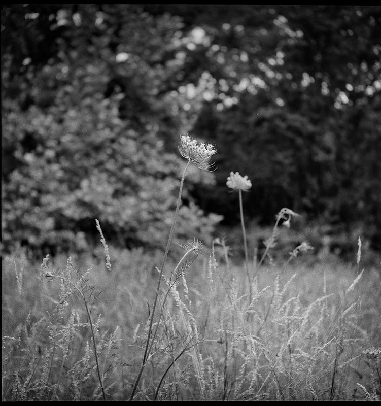 grasses, Queen Anne's Lace, forest's edge, Biltmore Estate, Asheville, NC, Ricohflex Dia M, Kodak Tri-X 400, Moersch Eco film developer, 6.21.20