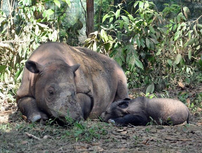 名為菈圖(Ratu)的蘇門答臘犀牛與她的孩子,位於印尼韋卡巴斯的一處蘇門答臘犀牛保護區。圖片來源:國際犀牛基金會(International Rhino Foundation)
