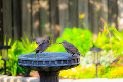 Some afternoon backyard bird pictures.