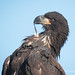 Within Its Beak A Juvenile Bald Eagle Preens A Single Feather