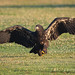 Ungainly Juvenile Bald Eagle Steps Out With Talon Up And Wings Spread