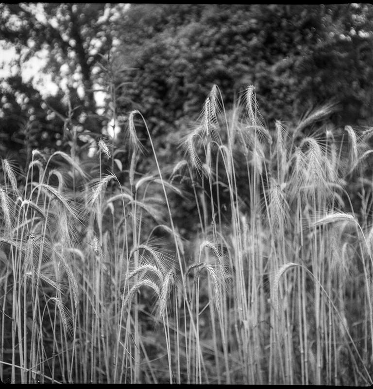 tall, willowy grasses, vicinity, French Broad River, Asheville, NC, Flektar twin lens reflex, Fomapan 200, Moersch Eco film developer, 7.9.20