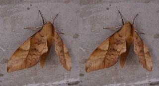 蛾の翅棘と抱鉤 立体写真