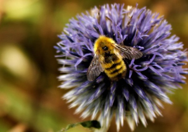 Trevor Carpenter Photochallenge week 29 - Up Close with Urban Nature and Wildlife - Busy Bee