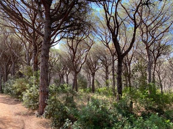 Herrlicher Pinienwald