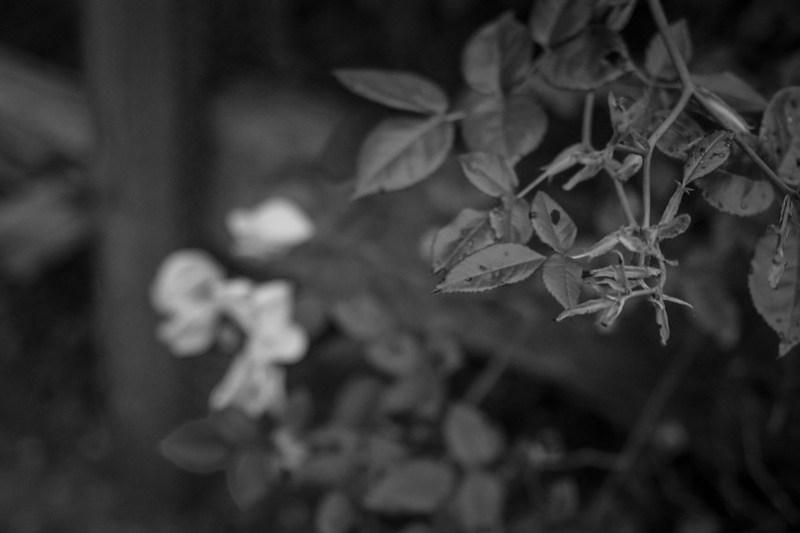 rose bush vines, distant blossoms, Asheville, NC, Nikon D3300, mamiya sekor 80mm f-2.8, 7.21.20