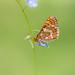 Euphydryas aurinia