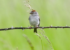 Chipping Sparrow-Plummer, ID-6-14-2020