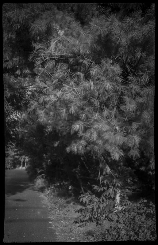 billowing conifer trees, deep shadows, Belleair Road, West Asheville, NC, Kochmann Korelle folding camera, Schneider Kreuznach Xenar 75mm f-4.5 lens, Rera Pan 100S, HC-110 developer, 8.4.20