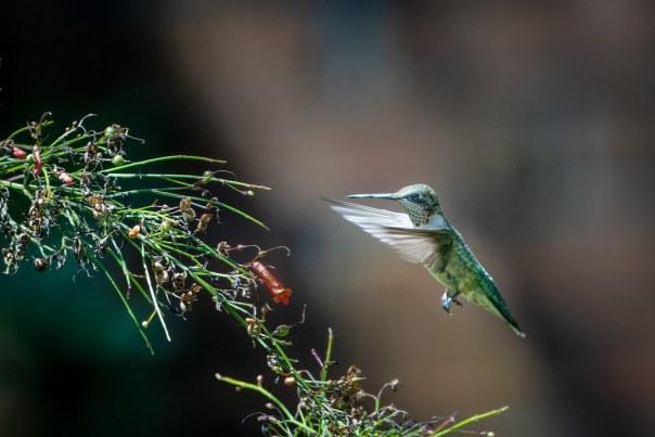Yard bird: Ruby-throated Hummingbird
