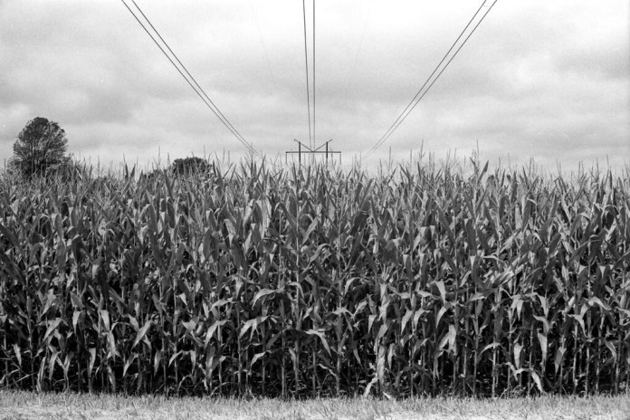 High-powered cornfield