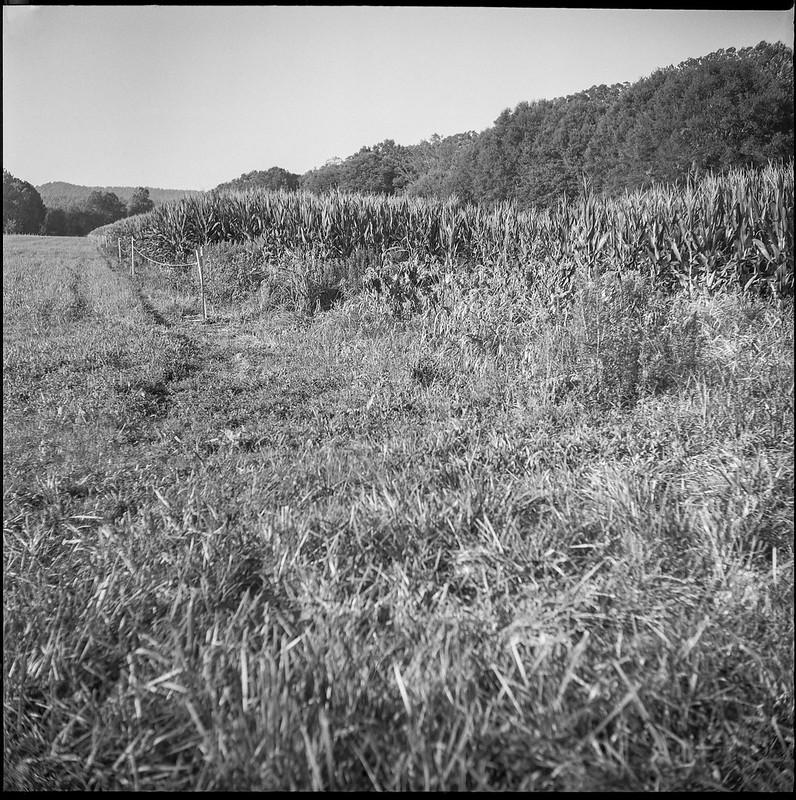 cornfield, pasture, tree stand, Biltmore Estate,  Asheville, NC, Ricohflex Dian M, Fomapan 200, Moersch Eco film dveloper, 8.17.20