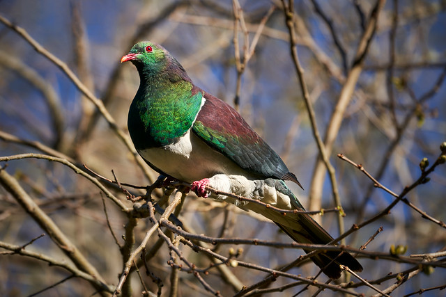 A kererū (New Zealand pigeon) resting in the sun after feeding