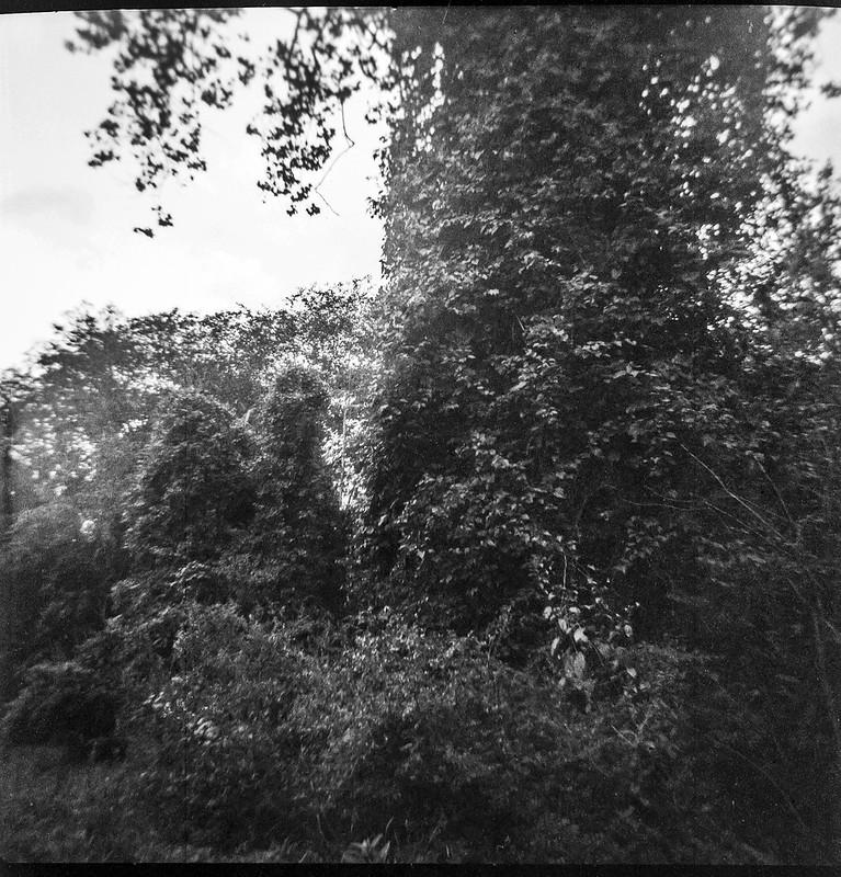 large tree form, backlit, Biltmore Estate, Asheville, NC, Kodak Duaflex III, Fomapan 200, Moersch Eco film developer, 9.6.20