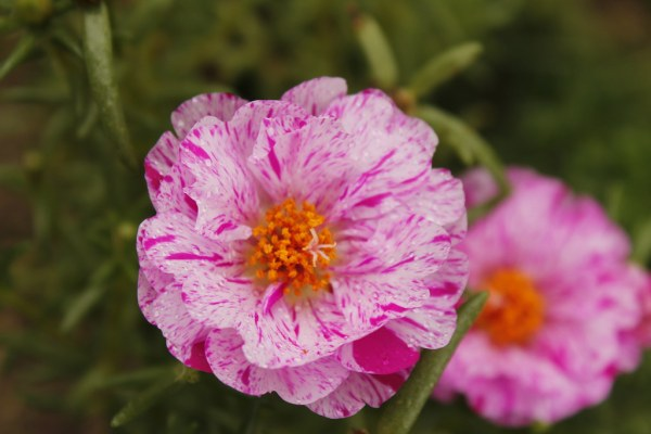 2020 Week 37: Colorful Macro - Portulaca