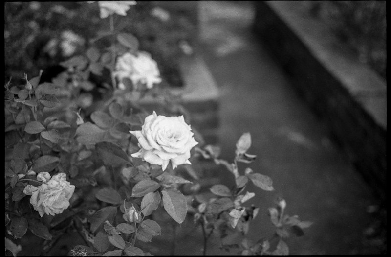 roses, pathway, garden, grounds, Basilica of St. Lawrence, Asheville, NC, Minolta XG-M, Fomapan 200, HC-110 developer, 9.13.20
