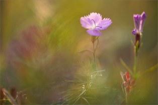 Гвоздика полевая (Dianthus campestris)